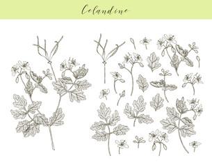 Vector celandine herb.