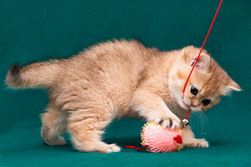 Playful golden british kitten playing with toy for cat