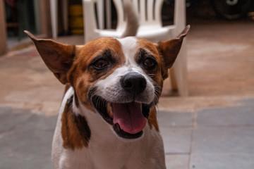 Cachorro Fox Paulistinha