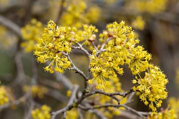 Cornus mas Kornelkirsche Spätblüte