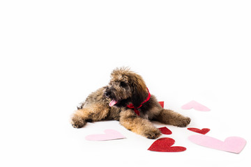 Golden Doodle Puppy with Valentines Hearts