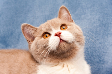 Portrait of a charming British cat color lilac bicolor with orange eyes close-up