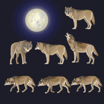 Set of gray wolves