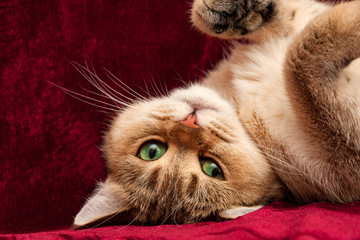Cute Golden British cat with green eyes lies upside down and looks into the camera