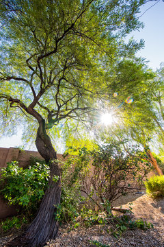 a mesquite tree with the sun in the background