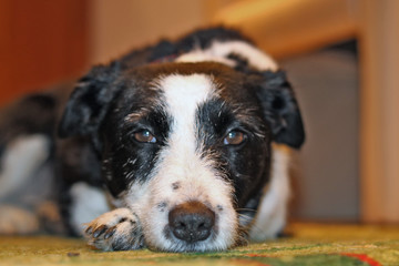 Fototapeten Hund müder Hund