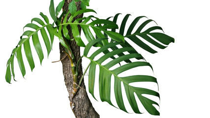 Wall Mural - Green leaves of native Monstera (Epipremnum pinnatum) liana plant growing in wild climbing on jungle tree trunk, tropical forest plant evergreen vines isolated on white background with clipping path.