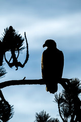 Perched bald eagle in silhouette.