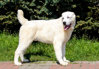 Central Asian Shepherd Dog looks right. The Central Asian Ovcharka stands in the park.