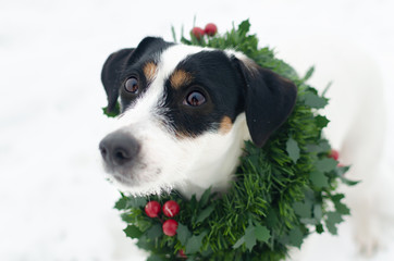 Photo of young Jack Russell Terrier in a Christmas wreath on the white background. Merry Christmas. Walk on a frosty winter day on the open field. Snowy winter