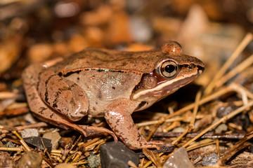 Closeup of a wood frog - Lithobates sylvaticus