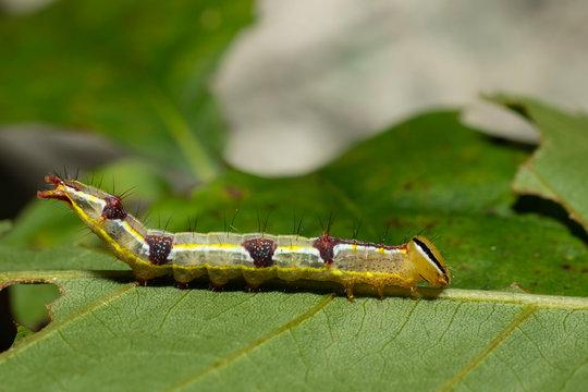 Variable oak leaf moth caterpillar - Lochmaeus manteo