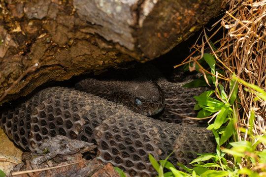 Timber rattlesnake concealed under a rock - Crotalus horridus