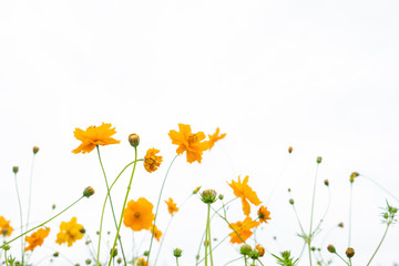 Yellow flower of Mexican Diasy, Sulfur Cosmos, Yellow Cosmos on white background.