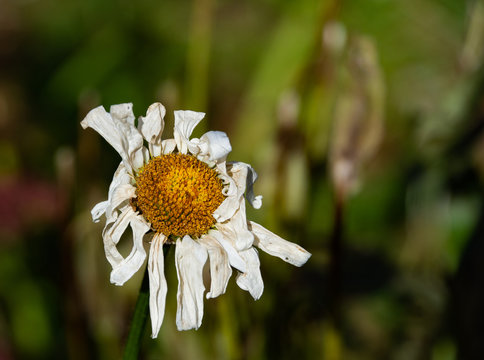 A wilted Shasta daisy at the end of the season in autumn
