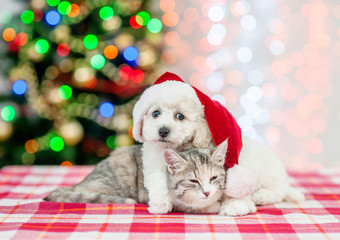 bichon frise puppy in red santa hat hugging sleepy cat with  Christmas tree on a background