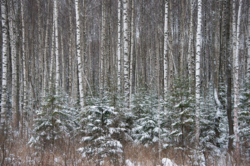 The winter forest in hoarfrost