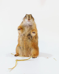 Cute black tailed prairie dog standing on white background.