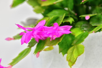 Detail of a beautiful colorful Christmas cactus on a white background