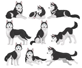 Collection of Siberian Husky in various poses, white and black purebred dog animal with blue eyes vector Illustration on a white background