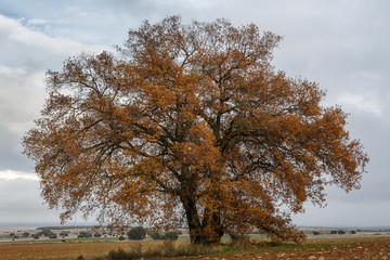 Roble carrasqueño en otoño con hojas marrones. Quejigo. Quercus faginea.