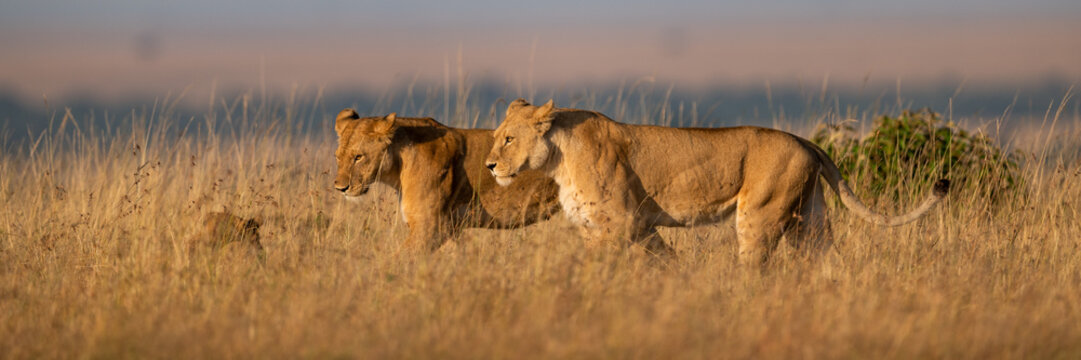 Panorama of lionesses walking side-by-side in grass
