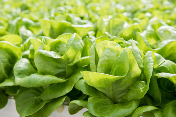 Image of lush green cabbage vegetation inside a Greenhouse farm. The cabbage plants look very fresh and is definitely well cared of.