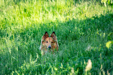 Ein Collie Hund versteckt sich im hohen Gras einer saftigen grünen Wildwiese und im Schatten eines Baumes.
