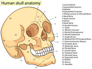 Medical Education Chart of Biology Human Skull Diagram. Raster. Front aspect white background basic medical education