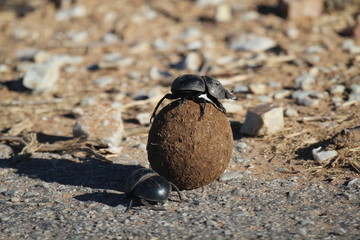 Dung Beetles on Elephant Poop