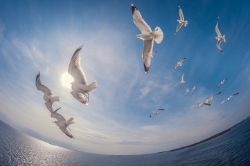 flock of seagulls flying over the sea with a background of blue sky, fisheye distortion Wall mural