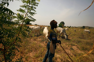 A Fulani shepherd stands at the boundary of a farm watching over grazing cattle in Paiko