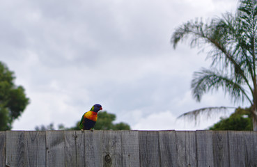 Colorful parrot standing on wooden fence