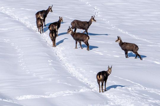 Chamois deer on white snow in winter