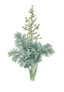 Botanical illustration of artemisia.