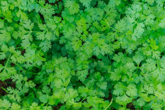 Coriander planted in the garden.