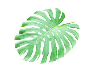 Green Monstera leaves on white