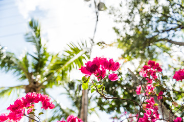 Closeup isolated vibrant pink bougainvillea flowers in Florida Keys or Miami looking up, sun, sunny sunlight, blue cloudy sky, green palm trees during summer spring low angle day