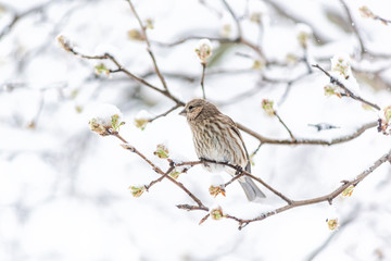 Female brown house finch, Haemorhous mexicanus, bird perched on tree branch during heavy winter in Virginia, side profile in snow