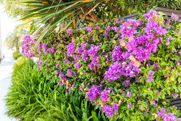 Vibrant purple bougainvillea flowers in Florida Keys or Miami, green plants landscaping landscaped lining sidewalk street road during summer springtime day