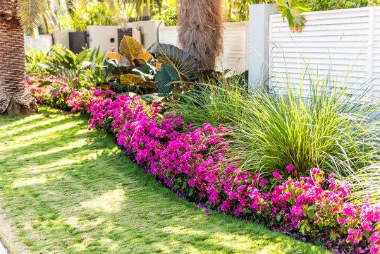 Vibrant pink bougainvillea flowers in Florida Keys or Miami, green plants landscaping landscaped lining sidewalk street road house entrance gate door springtime summer
