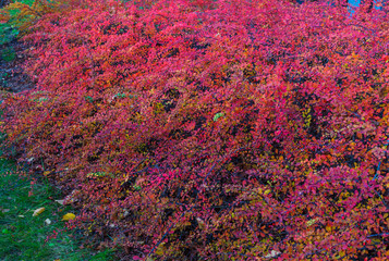 Decorative barberry bushes with fiery leaves and red berries. Autumn landscape