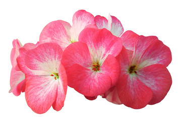 Flower pink-white geranium. Isolated on a white background. Close-up. without shadows. For design. Nature.