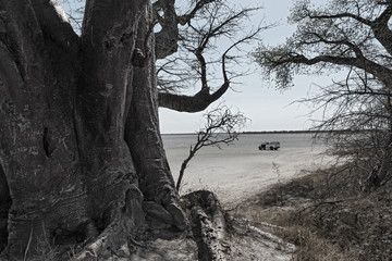 Baines baobab trees, Nxai Pan National Park, Botswana