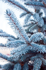 Printed kitchen splashbacks Light blue Blue spruce needles covered with frost in frosty weather. Forest walk.