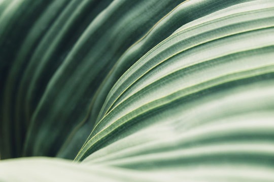 Green leaves background with copy space, close up texture of Welwitschia Mirabilis desert plant