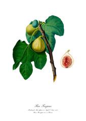 Figs on the branch. Vintage botanical  illustration.
