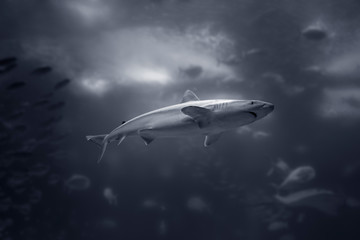 Black and white shark