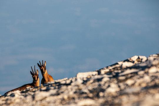 Couple of Apennine chamois in the Murelle amphitheater, Majella national park, Abruzzo, Italy, Europe