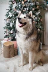 Shaggy blue-eyed pet husky in the New Year's interior near the Christmas tree.